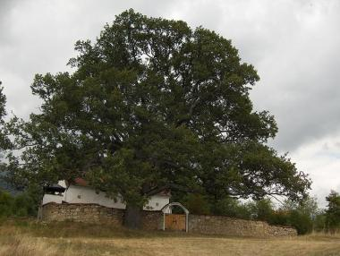 Centuries-old oak tree