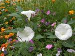 Flowers_Rila_Aug_09