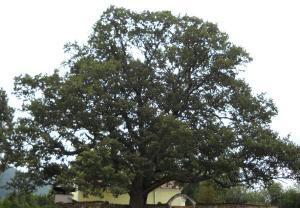 Oak_Tree_2009_2